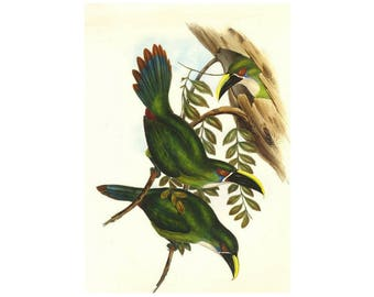 Toucans Print by Gould,  Large on Heavy Paper Sale, Buy 3, get 1 free