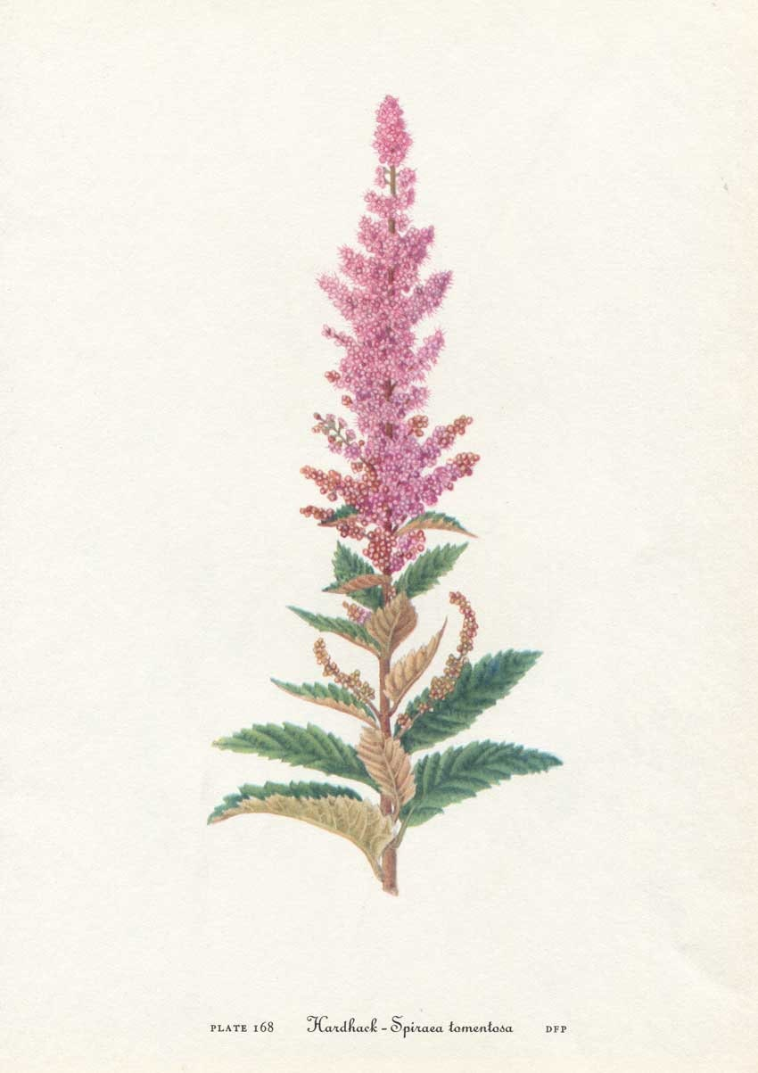 Vintage 1953 Hardhack, Spiraea Botanical, Floral Print for Framing ...