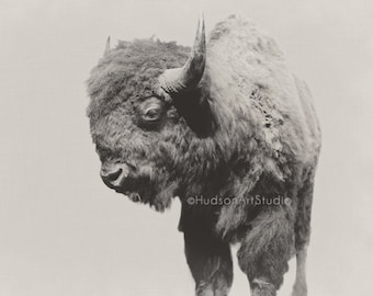 Bison art bison head 8x10 print Home Decor Modern Rustic decor Fine Art Photography Bison wall art taxidermy woodland nature