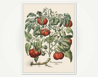 Botanical Illustration - Tomato / Tomate / Pomodoro - Antique Botanical Print For Dining Room or Kitchen