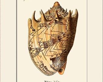 Vintage Sea Shell Print, Plate 244, Art Print with Mat, Note Card, Natural History Illustration, Wall Art, Nautical Art, Costal Decor