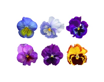 pansy clipart etsy rh etsy com pansy flower clip art pansy drawing clipart