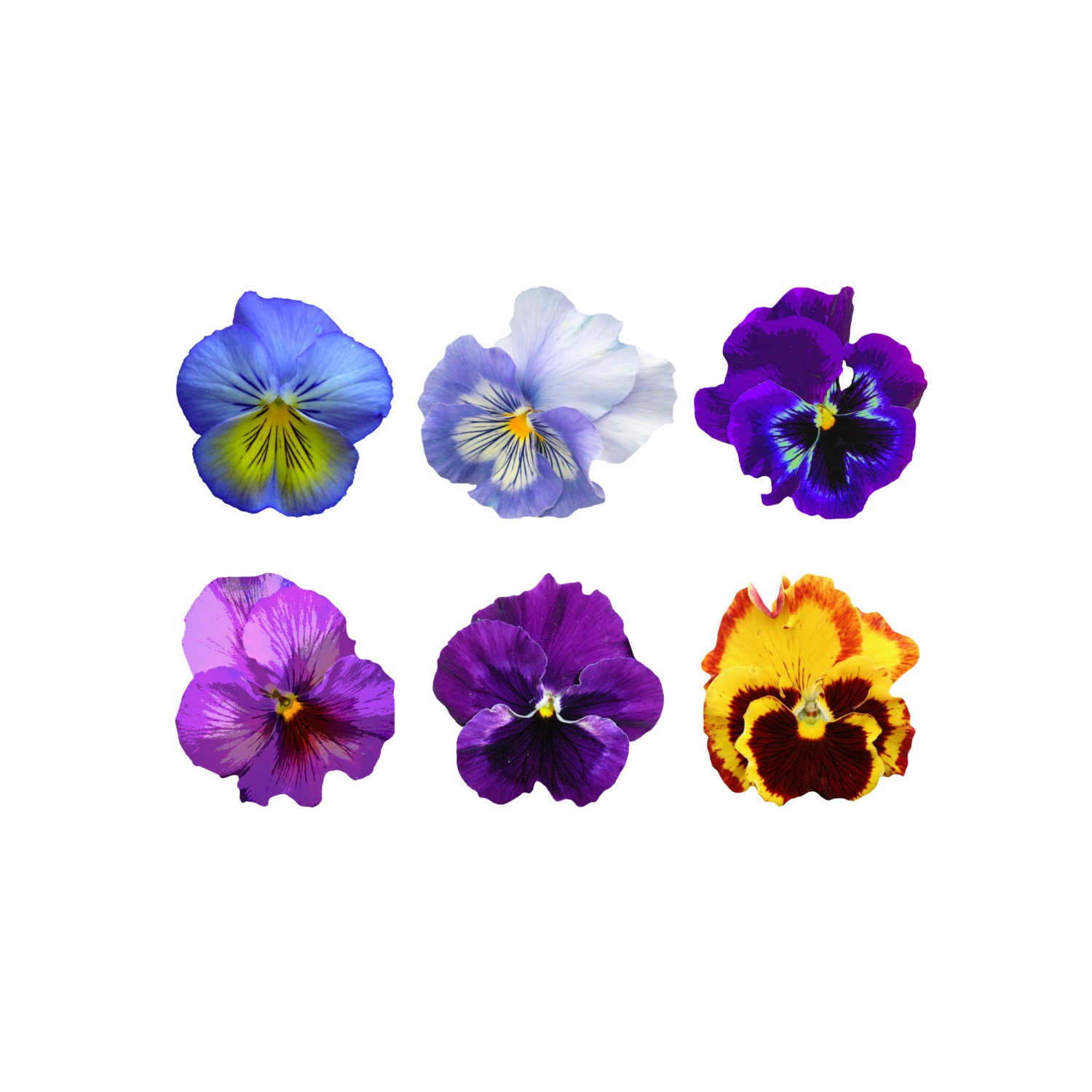 pansy clip art pansy clipart clip art pansy clipart pansy rh etsy com Pansy Flower pansy flower free clipart