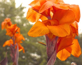 Canna Lily Wyoming | Trio (3) of Tropical Beauties
