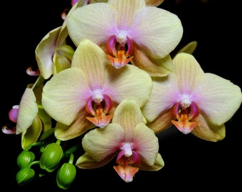 Exotic Phalaenopsis Orchid Flowers-Fine Art Photo Blank Greeting Card--Suitable for Framing-Protected by Copyright