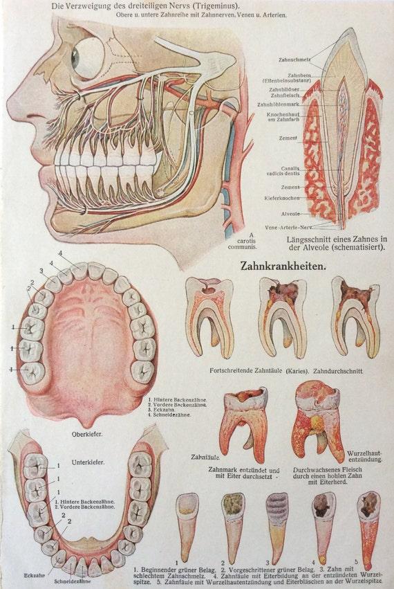 Jahrgang der 1920er Jahre deutsche Anatomie Gesicht Dissektion