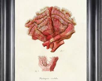 CORAL PRINT Esper 8x10 Art Print 7 Beautiful Antique Sea Ocean Ivory Coral Nature to Frame Home Decoration Nautical Seashore