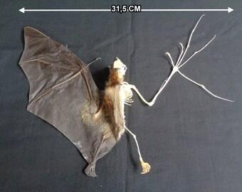 Chiroptera: Bat cynopterus sphinx half skeleton spread