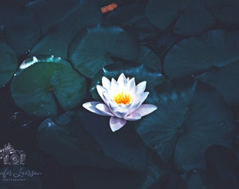 Serenity in Bloom; Water Lily; Flower Photography