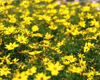 Coreopsis 'Zagreb' - Lace Leaf Tickseed Flower. Zones 3-9, sun
