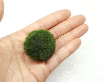 XLarge 3-4cm Marimo Moss Ball for Terrarium Planted Tanks Live Aquarium Decor Shrimp Fish Indoor Plant Graduation Gift