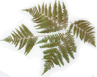 """Fern leaves. Real, dried, pressed. (Dryopteris), 8-12"""".  Lot of 22.  Botanical material for crafts, herarium, teaching, arts, scrapbooking."""