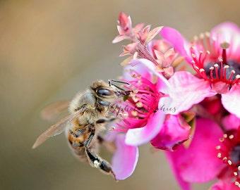 Pink Cherry Blossom Bee Fine Art Photographic Print
