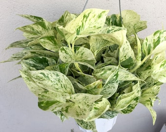 LARGE Hanging Marble Queen Devils Ivy Pothos Plant Marble Queen Pot Easy to Grow Houseplant Variegated Plant Basket Plant Hanging Vine
