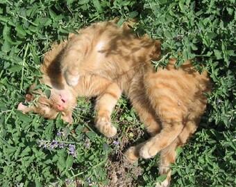 Catnip Organic Heirloom seeds