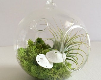 Orb Air Plant Hanging Terrarium Clear Glass Orb Kit with Two mini White Sand dollars
