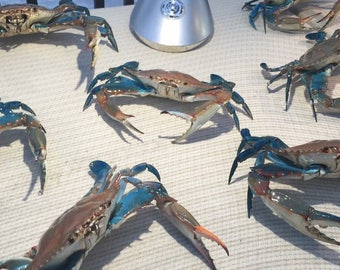 Real blue crab