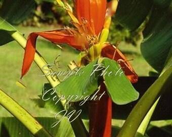 5 Rare seeds Wild Banana Ornamental Tropical Growers Collectors Favorite Orange flowers Musa aurantiaca