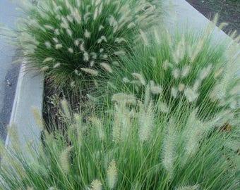 "Little Bunny Fountain Grass 1 Plants 8"" Tall Ship in 3"" Pot"