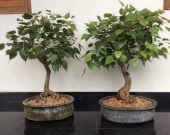 Bonsai - BODHI TREE (Ficus Religiosa) 5 seeds