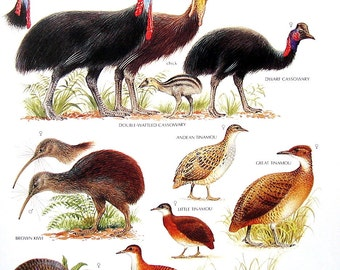 Vintage Bird Print - Double Wattled Cassowary, Brown Kiwi, Thicket Tinamou, Dwarf Cassowary - 1990 Vintage Book Page - 11 x 9
