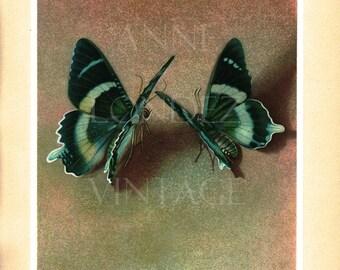 Tropical butterfly art-1950 vintage butterfly print- Alcides Agathyrsus butterflies- Butterfly wall art- Butterfly decor- Butterfly gift