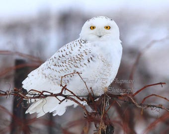 A Focused Snowy Owl