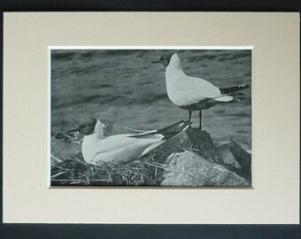 1950s Vintage Black Headed Gull Print, Seagull Decor, Available Framed, Nature Art, English Natural History Gift for Bird Lover Sea Wall Art