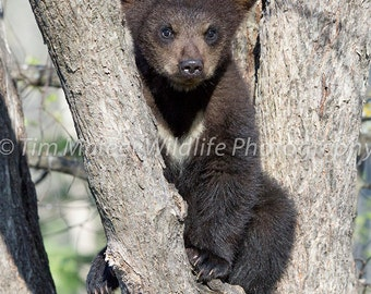 Black Bear Cub Photo