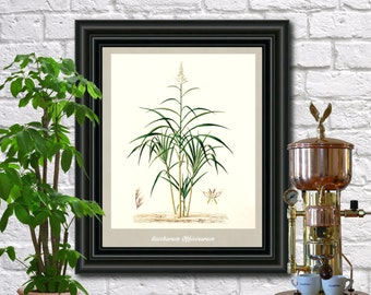 Sugarcane Botanical Print Vintage Sugarcane Illustration Kitchen Wall Art Poster  0473
