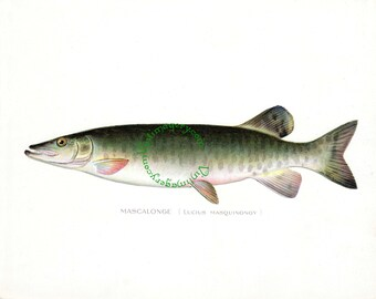 Vintage fish print digital download: Mascalonge (Muskellunge) print, by S. F. Denton, 1903