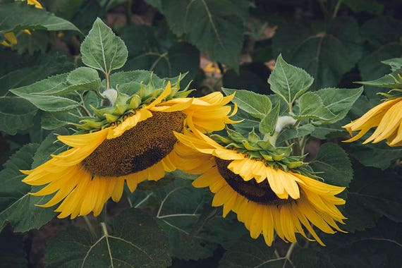 Late Summer Sunflowers Photo, Fine Art Print, Home Decor, Botanical Print, Cottage Decorating, Wall Art, Single Print or Set of Two