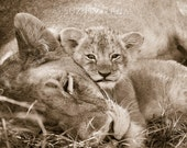 LION MOM and BABY Photo, ...