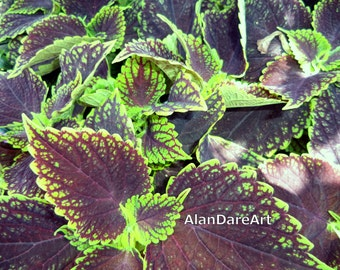 Coleus, flower photography, wall art, original