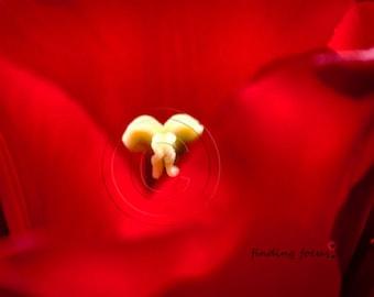 Crimson Macro Tulip Photography, Scarlet Rouge Cherry Red Creamy Yellow Minimal Flower Photo, Floral Petals Garden Art, Modern Elegant Decor