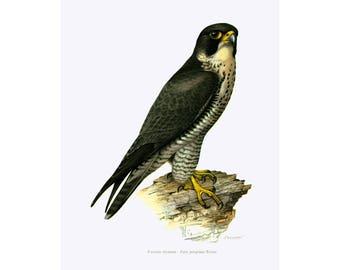 1969 Duck Hawk Print, Peregrine Falcon Wall ART, bird of prey, Vintage Ornithology