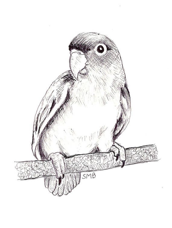 Sally Blanchard Original Pen and Ink Drawing of a Peach-faced Lovebird on a Perch