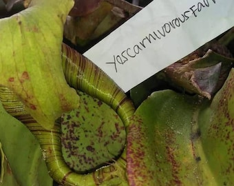"Nepenthes maxima ""Green red"" seed(pod) / 900m Tanete Gandangdewata, Sulawesi"