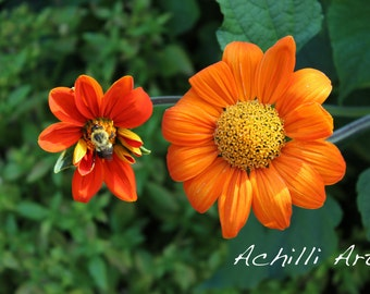 Orange Flowers with Bee- Elizabeth Park- Original Photograph