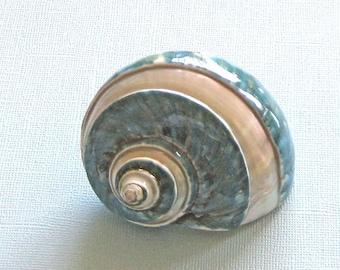 "Beach Decor - Large Green Banded Turbo Shell - 3"" - 3.5"" - seashells green sea shells"