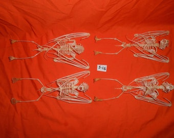 Taxidermy Fruitbat Large Skeleton 6 Pcs