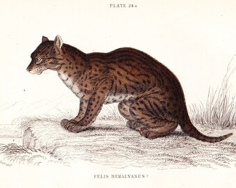 The Himalayan Serval Cat (Felis Himalyanus) Antique Print . original old vintage hand coloured plate feline art engraving dated 1834