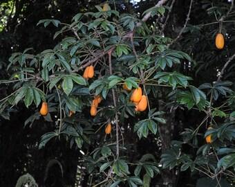 50 Jacaratia spinosa Seeds. Jacaratia Seeds , Wild Papaya Seeds