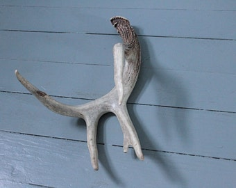 Cabin Fever... Vintage Deer Antlers Five Point, Taxidermy, Deer Horns