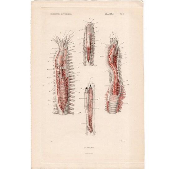 1836 Annelid Worm Anatomy Engraving Original Antique Rare Sea