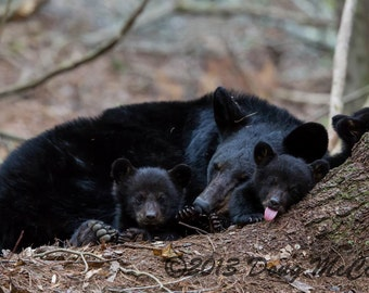 Black Bear Mother and Cubs #1612