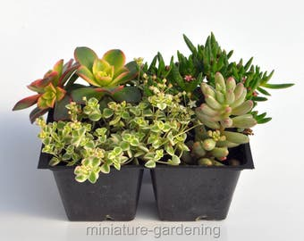 Enchanted Garden, Succulent Collection for Miniature Garden, Fairy Garden