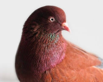 Bird Photograph, Pigeon Photo, Digital Download, Teal Art, Chocolate Brown, Animal Photograph, Fuchsia, Nature Photography, Instant Download