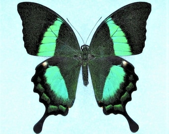 One Real Butterfly Green Papilio Palinurus Swallowtail Indonesia