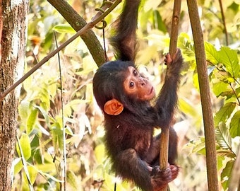 Cute Chimp